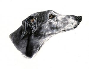 Greyhound Portrait