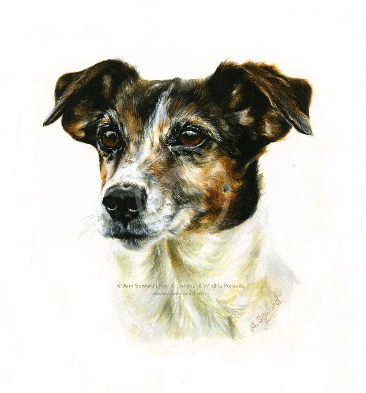 Tri-colour Terrier bitch