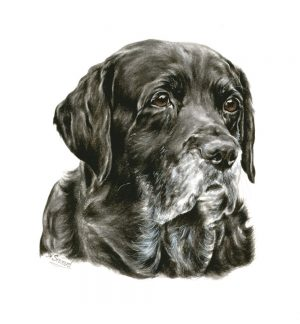 Aged Black Labrador