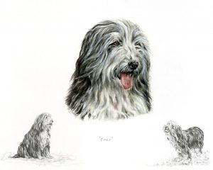 Bearded Collie Portrait