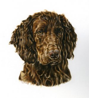 Working Liver Cocker Spaniel