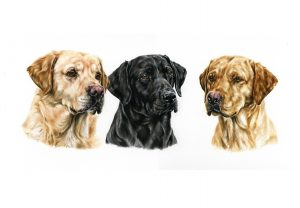 Working Labradors