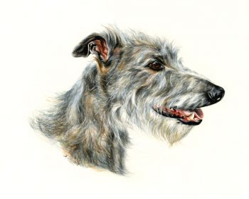 Grey broken-coated lurcher