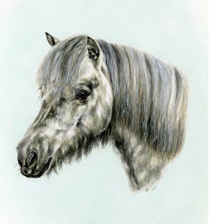 Grey Shetland Pony Portrait