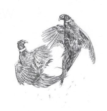 Cock pheasants fighting - pencil sketch