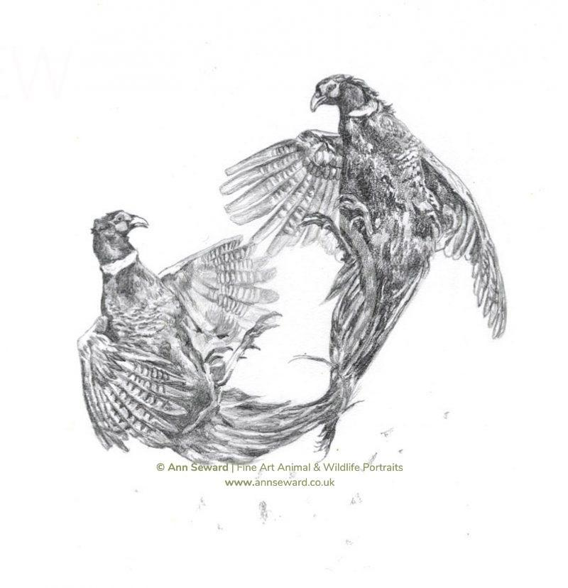 Cock pheasants fighting - pencil sketch