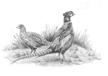 Pheasants Notelet